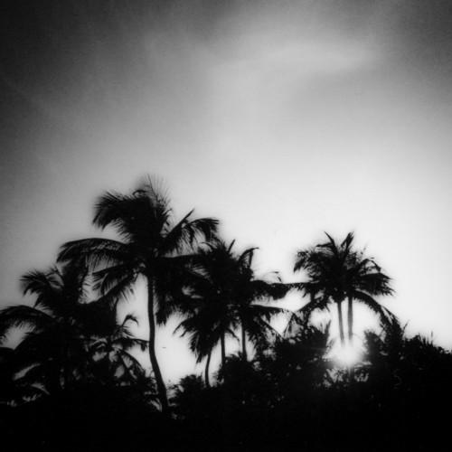 palmier sénégal